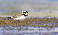 Sandlóa - Common ringed plover - Charadrius hiaticula (Mikael Sigurðsson) Tags: manfrotto mikaelsigurðsson nikon nikkor nature national north nice animal bird birding beautiful birds fave capture closeup colours contrast colour iceland ocean amazing animals animalplanet award astonishing fantastic fantasticnature water wader stunning summer snowy spring d500 f56 fall great head headshot photography ljósmyndun planet wildlife wild white waterfowl sea details outside supershot ísland portrait photo pro