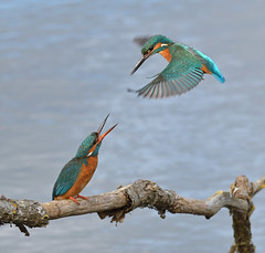 Kingfishers (KHR Images) Tags: kingfisher kingfishers eurasiankingfisher alcedoatthis pair male female courtship hover flight lackford lakes suffolk wildlife nature nikon d500 kevinrobson khrimages