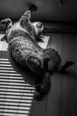 Nap Time (burnt dirt) Tags: sun sunlight shade sleep nap shades blinds fujifilm xt3 cat