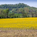 Yellow rapeseed and brown maize in spring