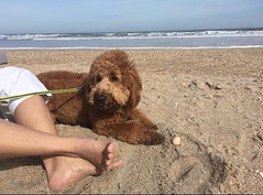 Lucy Lu's Rusty enjoying some beach time!