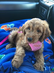 Maggie Mae's Hazel on her way to her new home!
