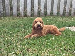 Lucy Lu's handsome Rusty