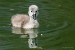 Bébé cygne (christian.rey) Tags: broye lacdeneuchâtel oiseaux vögel cygne bébé baby sigma sony a7r2 a7rii mc11 150600 birds