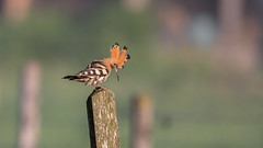Wiedehopf (wsprecher) Tags: wiedehopf upupa epops vögel wildlife rheintal ngc