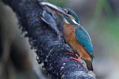 PILT4664 (ottmaasikas) Tags: jäälindalcedoatthiskingfisher kingfisher jäälind alcedo atthis