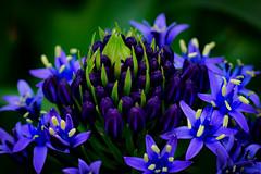 Beauty (K&S-Fotografie) Tags: bloom blossem flower flowers park spring blue beauty closeup garden color