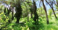 Spring Soak Version 2 (Robert Cowlishaw (Mertonian)) Tags: lush springsoak ineffable awe wonder spring2019 mertonian robertcowlishaw canonpowershotsx70hs canon powershot sx70hs beauty beautiful lunchstroll 4sophia trees meadow shadows grass