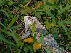 Pantanal_3584 (Jimmy Vangenechten 76) Tags: geo:lat=1675606637 geo:lon=5688418426 geotagged brazilië brazil pantanal wildlife animal reptiel reptile poconé matogrosso estradatranspantaneira transpantaneirahighway mt060rodoviatranspantaneira microrregiãodoaltopantanal mesorregiãocentrosulmatogrossense centralwestregion southwildpantanallodge riosararé greeniguana groeneleguaan iguanaiguana