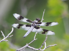 Eight-spotted Skimmer male Libellula forensis (The Nature Conservancy in Nevada) Tags: dragonfly invert odonata rubyvalley skimmer
