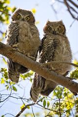 Look At That (RH Miller) Tags: rhmiller reedmiller wildlife bird owl greathornedowl chicks idaho usa fledged