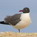 Laughing Gull - Leucophaeus atricilla, Chincoteague National Wildlife Refuge, Chincoteague, Virginia