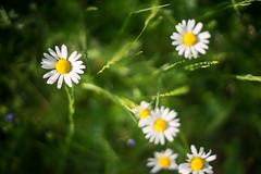 (kuuan) Tags: mf manualfocus m42 yashinon autoyashinondxf1750mm f1750mm meadow wiese mostviertel austria colors blumenwiese bokeh macro helicoidadapter closefocusadapter autoyashinon closefocusing flower daisy margaritas wideopen
