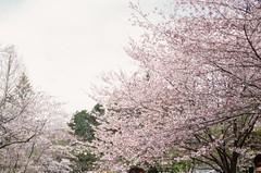 (kristen_manza) Tags: kodak ektachrome 35mm 35mmfilmphotography cherryblossoms torontophotography 35mmfilm