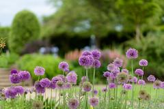 Alliums (tonybill) Tags: flowers gardens may miscellaneous rhs rhswisley sonya7riii sonyfe85mmf14gm surrey wisley bokeh