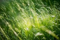 (kuuan) Tags: mf manualfocus m42 yashinon autoyashinondxf1750mm f1750mm meadow wiese mostviertel austria colors blumenwiese bokeh macro helicoidadapter closefocusadapter autoyashinon closefocusing gras farn wideopen