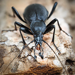 Cychrus caraboides (mickmassie) Tags: carabidae chipperfield coleoptera insecta