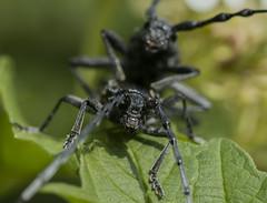 Capricorne des bois (katia Nicolet) Tags: insectenoircapricornenikond500gouttedeau feuille verte accouplement