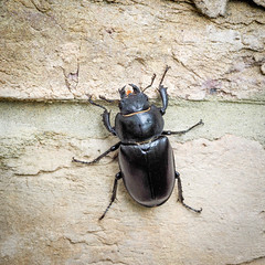 Lucanus cervus (f) climbing up the garden wall (mickmassie) Tags: coleoptera gardentq209783 insecta lucanidae
