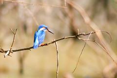 Blue-eared Kingfisher (Ralph Apeldoorn) Tags: alcedomeninting bird blueearedkingfisher kingfisher nationalpark srilanka yala yalanationalpark hambantota