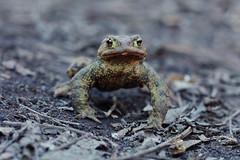 Toad (Krasniza) Tags: жаба kröte toad krasniza reptile amphibien