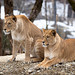 Barbary lionesses