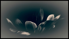 Mourning card (pastadimama) Tags: illusion macroart macro mourning card art flowers death funeralcard mourningcard