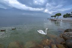Swans of Lake Garda (Salmoopen) Tags: dolomite italy misurina braies garda alpedisiusi ranui valdifunes