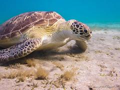 Schildi <3 (Planitzer Pictures) Tags: turtle sea red meeresschildkröte schildkröte meer rotes ägypten alam marsa redsea egypt marsaalam abudabbab