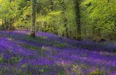 Burrator bluebells (snowyturner) Tags: bluebells dartmoor spring flowers trees leaves landscape burrator