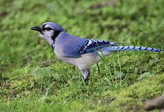 Bluejay (Diane Marshman) Tags: blue white black green bird nature grass neck spring wings breast body head pennsylvania wildlife chest tail birding gray beak feathers large bluejay ring belly pa underneath