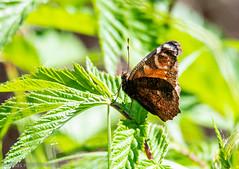 A sunny day (aixcracker) Tags: bird fågel lintu butterfly perhonen fjäril ruskis borgå porvoo suomi finland nikond500 spring vår kevät may maj toukokuu sunshine solsken auringonpaiste sigmas150600mmf563 europe europa eurooppa