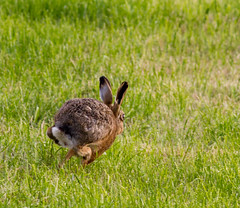 Brown Hare 2 (PDKImages) Tags: hare brown brownhare animals nature field outdoors beauty wildlife