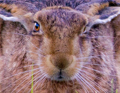 Brown Hare 4 (PDKImages) Tags: hare brown brownhare animals nature field outdoors beauty wildlife