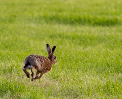 Brown Hare 3 (PDKImages) Tags: hare brown brownhare animals nature field outdoors beauty wildlife