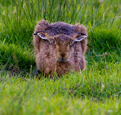 Brown Hare (PDKImages) Tags: hare brown brownhare animals nature field outdoors beauty wildlife