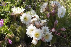 Cacti blooming in the neighborhood (charlottes flowers) Tags: cacti flowers cactusflowers plants