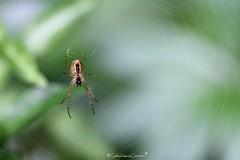 . (CarloAlessioCozzolino) Tags: ragno spider macro cornatedadda portodadda ragnatela spiderweb