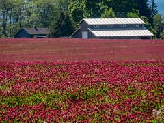 Wooden Shoe Tulip Farm (harrysonpics) Tags: oregon woodenshoetulipfarm