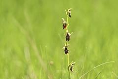 Fly orchid (evakatharina12) Tags: orchid ragwurz fliegenragwurz flyorchid flower mimicry ophrysinsectifera unterfranken thüngersheim
