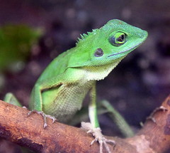 Bright Green (Keith Mac Uidhir 김채윤 (Thanks for 8m views)) Tags: lizard dublin zoo ireland irish reptile animal