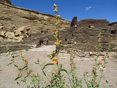 Globemallow Flowers in the Ruins (annestravels2) Tags: pueblobonito chacoculturenationalhistoricalpark americanindian nativeamerican historic history ruin desert walls wildflowers
