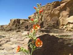 East Facing Globemallow Flowers (annestravels2) Tags: pueblobonito chacoculturenationalhistoricalpark americanindian nativeamerican historic history ruin desert walls wildflowers