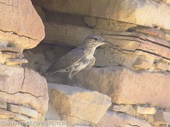 Bird in the Stone Wall (annestravels2) Tags: pueblobonito chacoculturenationalhistoricalpark americanindian nativeamerican historic history ruin desert walls bird