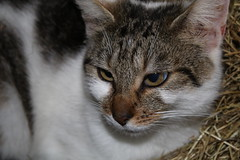 One of the farm's mouse catchers (excellentzebu1050) Tags: pet cat farm animal animalportraits closeup coth5