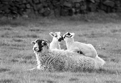 Sheep and Lambs on back monochrome (PDKImages) Tags: animals farm farmanimals sheep wool field lamb lambs nature