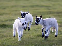 Leaping Lambs (PDKImages) Tags: animals farm farmanimals sheep wool field lamb lambs nature