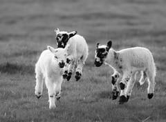 Leaping Lambs monochrome (PDKImages) Tags: animals farm farmanimals sheep wool field lamb lambs nature