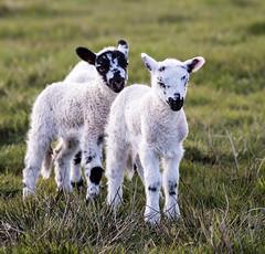 Lambs (PDKImages) Tags: animals farm farmanimals sheep wool field lamb lambs nature