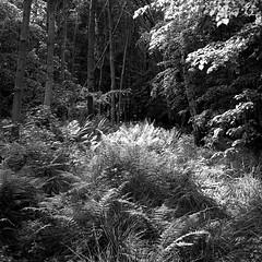 just a view (salparadise666) Tags: rolleiflex sl 66 planar 80mm fomapan 100 boxspeed caffenol rs nils volkmer 6x6 square medium format analogue film camera nature landscape fern trees niedersachsen germany bw monochrome